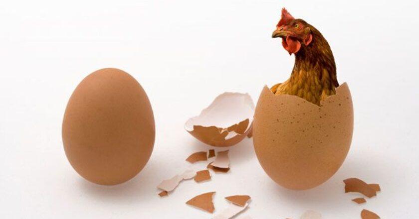 ovo e galinha