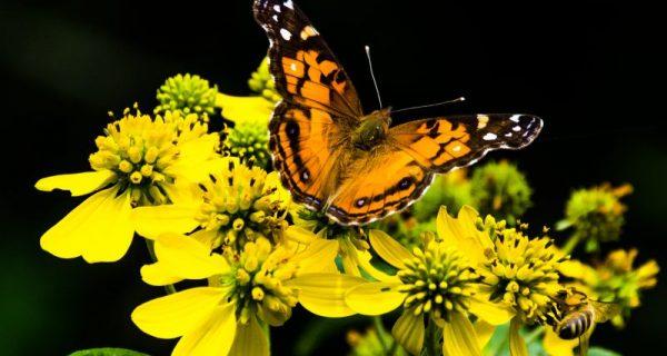 a vida das borboletas