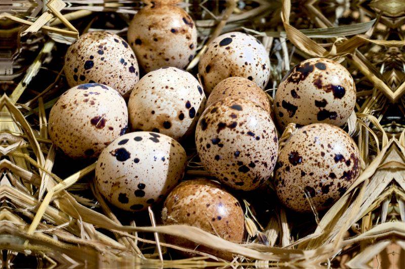 ovo de codorna faz bem aos idosos