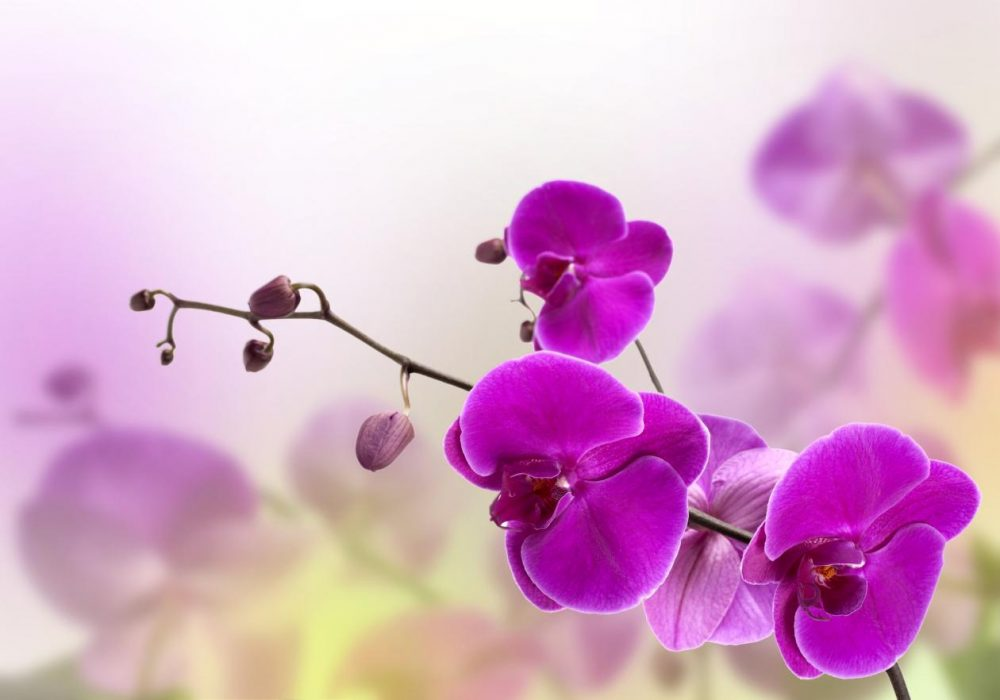 orquídeas e a sua beleza