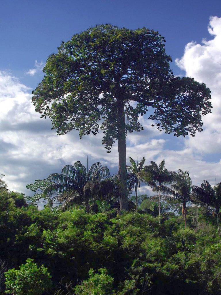 Castanha da Pará apenas 1 por dia aos idosos