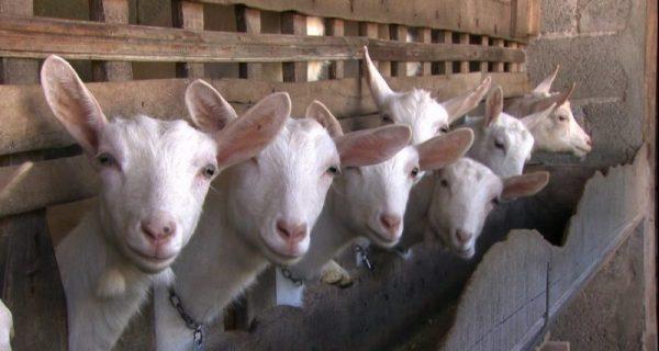Leite de cabra ou de vaca. Tem lactose?