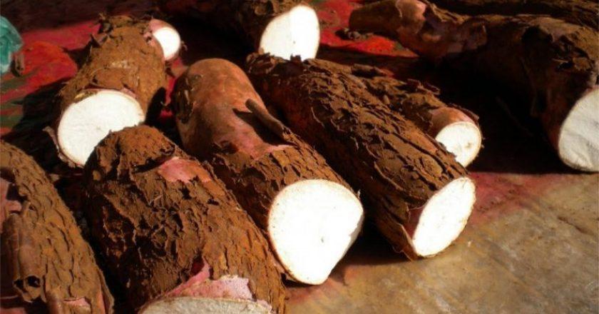 Mandioca e os benefícios para os idosos e receitas de mandioca