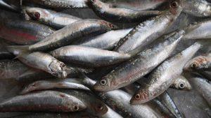sardinha para idosos