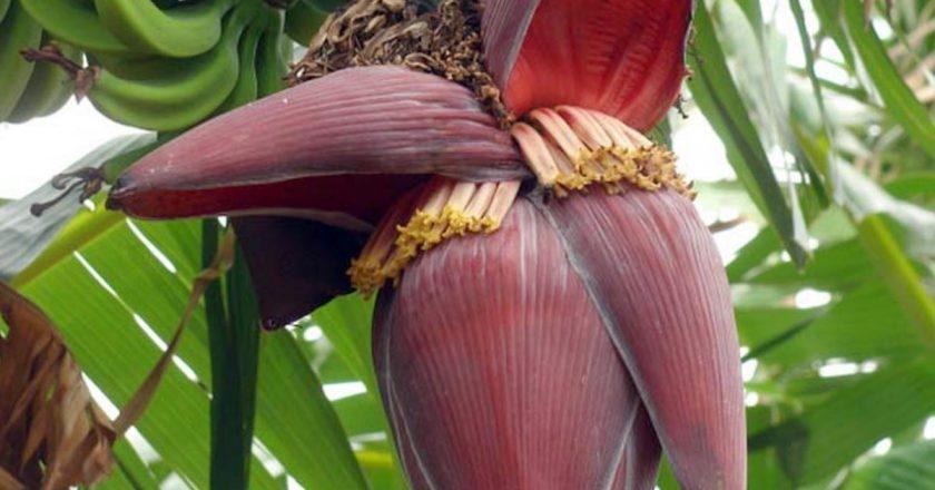 flor de bananeira para idosos