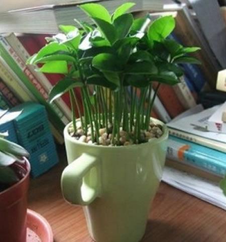 plantar limão na xícara