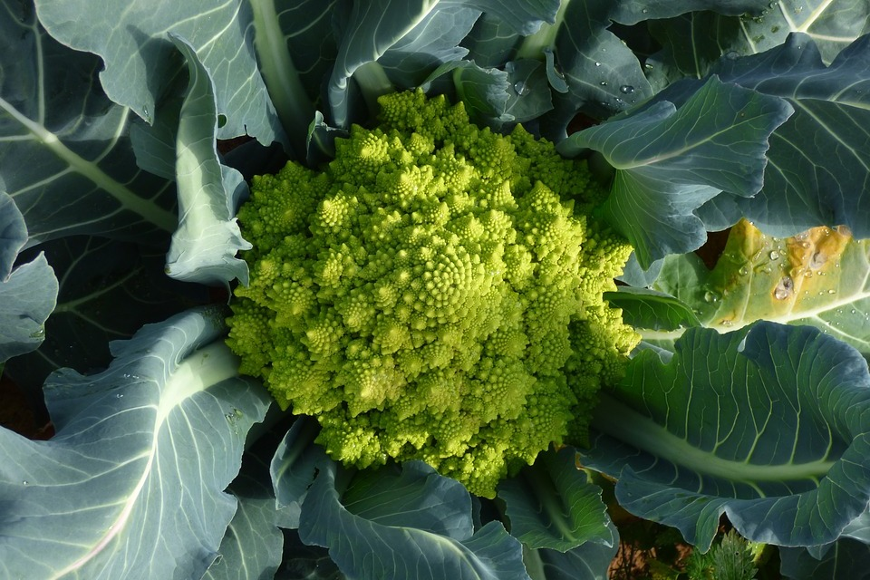romanesco brócolis